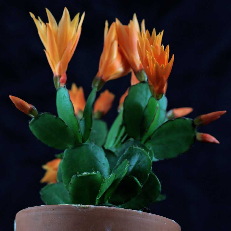 Osterkaktus orange