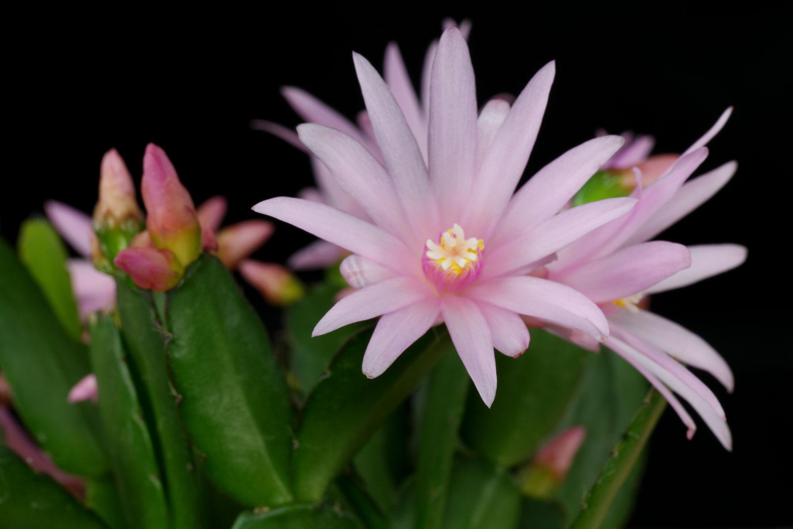 Osterkaktus rosa Blüten